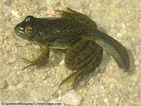 how to look after a froglet