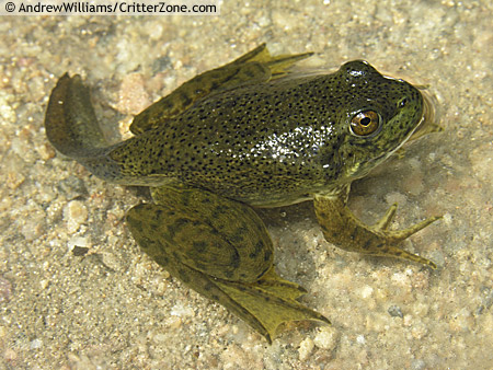 Life Cycle of the Frog: Froglets