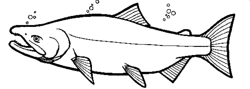 Coloring Pages Chum Salmon